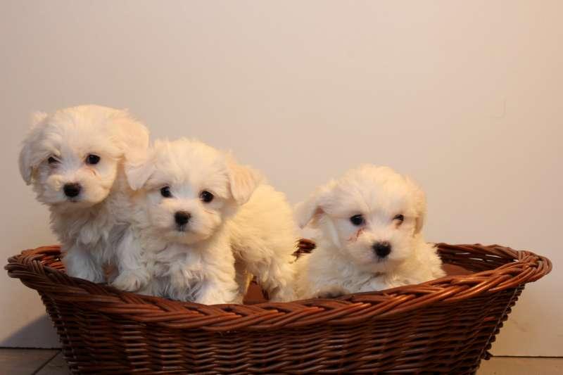maltezer pups – rashonden oosthof