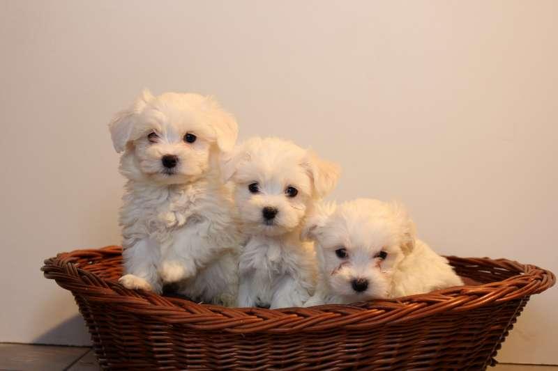 mini-maltezer-pups-te-koop