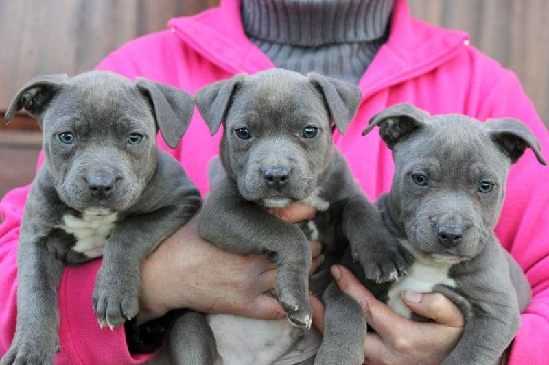 Verwonderlijk Amerikaanse stafford terrier pups – Rashonden Oosthof NB-96
